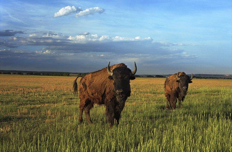 American Bison, Grover, Colorado