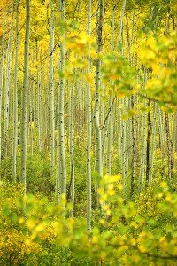An aspen forest in peak season color ignites the approach to Independence Pass, outside Aspen, Colorado.