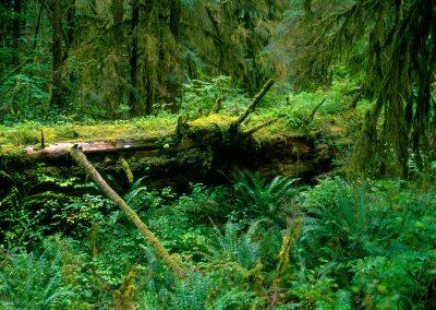 Spruce Trail, Hoh Rainforest, Olympic National Park, Washington