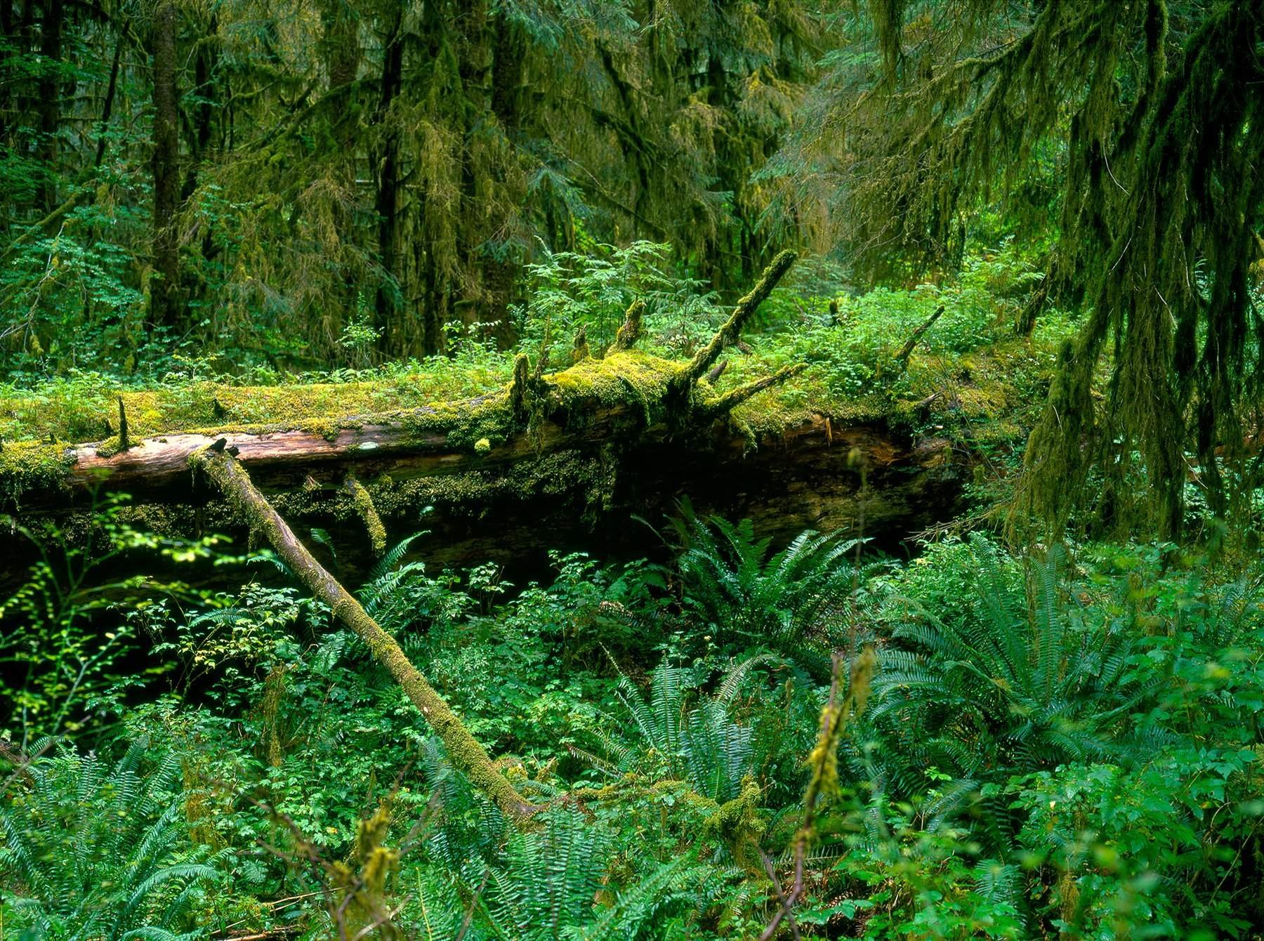 Spruce Trail, Hoh Rainforest, Olympic National Park, Washington