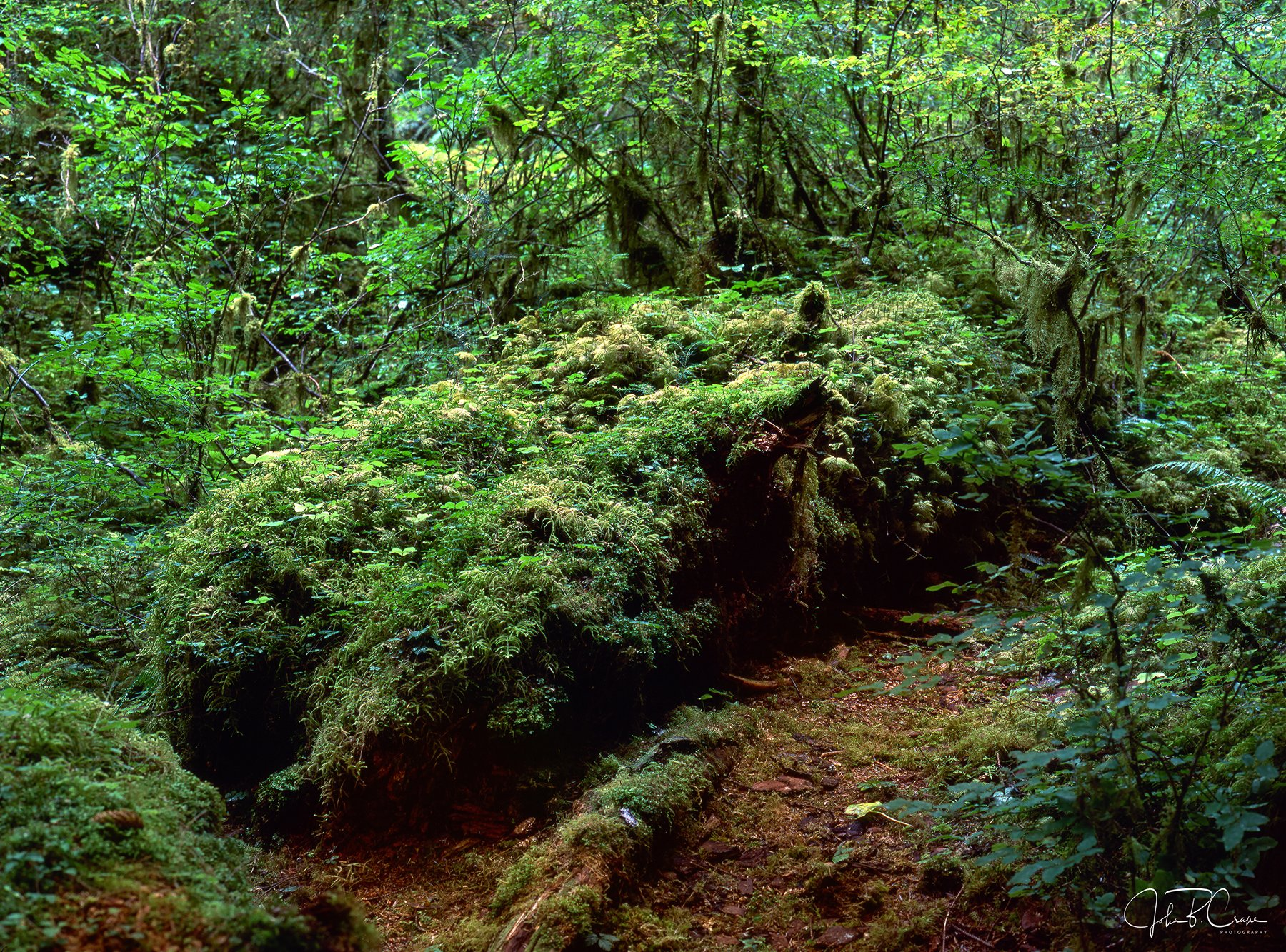 Nurse log, Hoh Rainforest, Olympic National Park, Washington