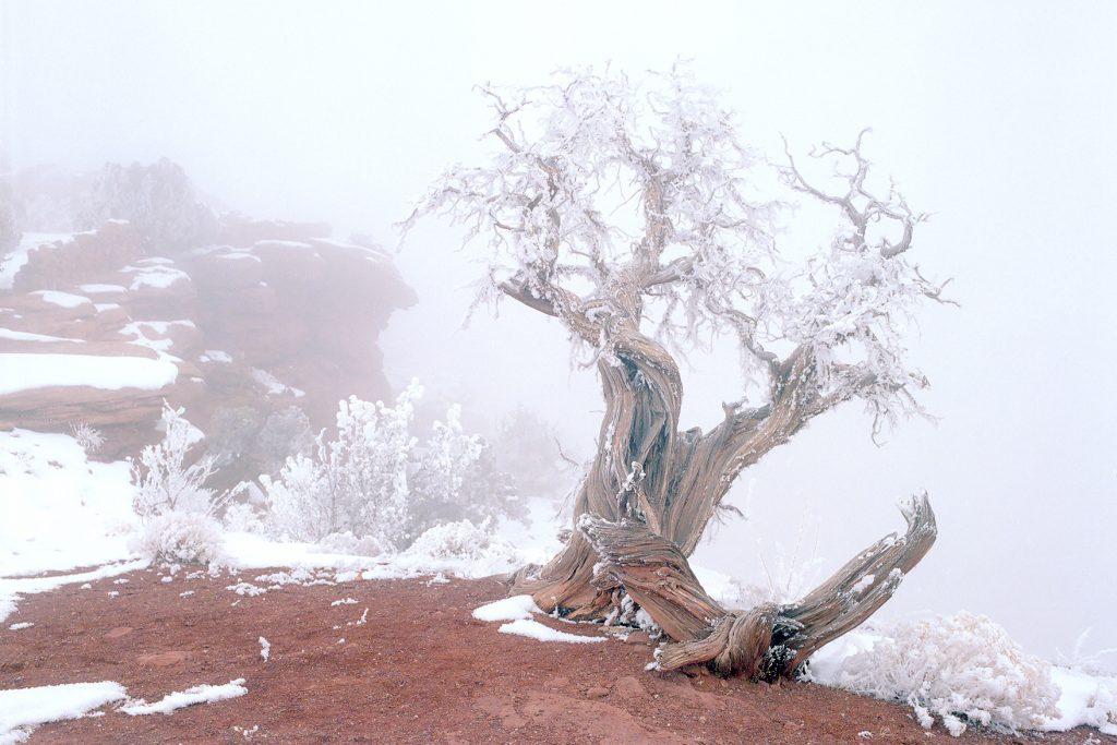 Bristlecone Pine, Deadhorse Point State Park, Utah