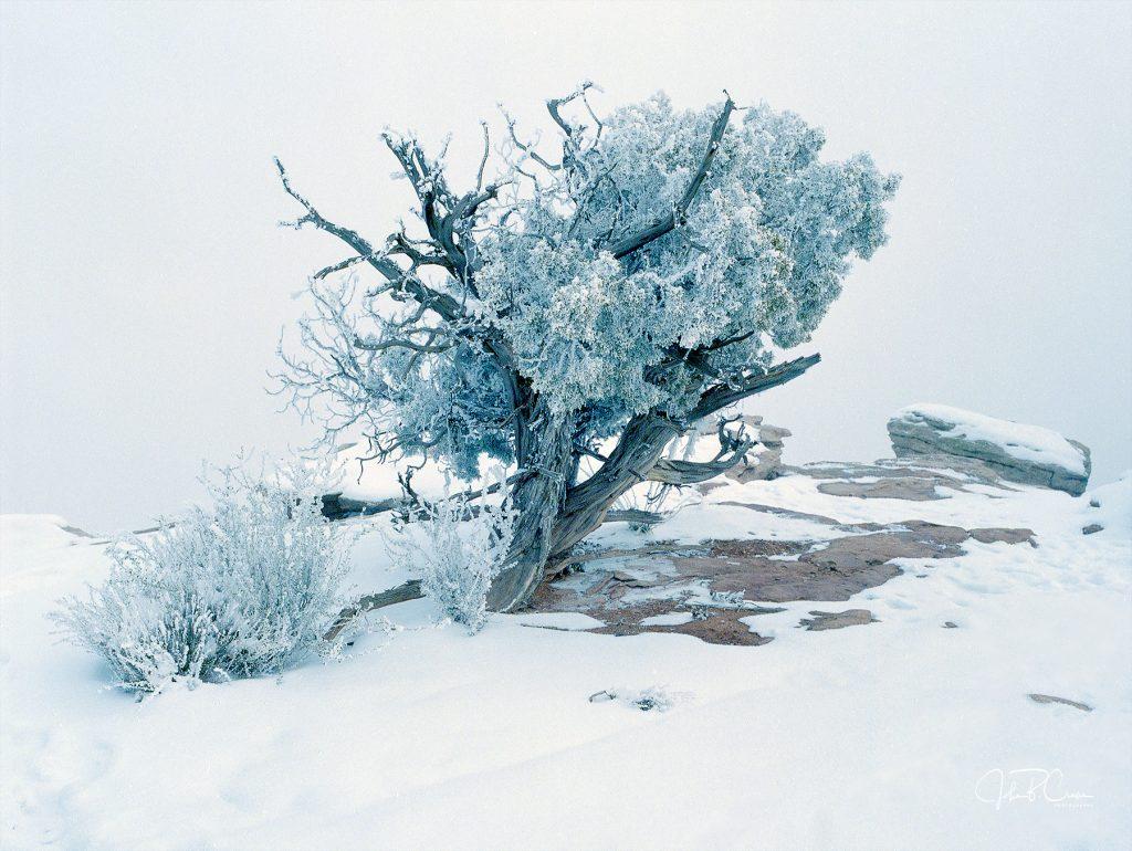 Utah Juniper, Dead Horse Point State Park, Utah