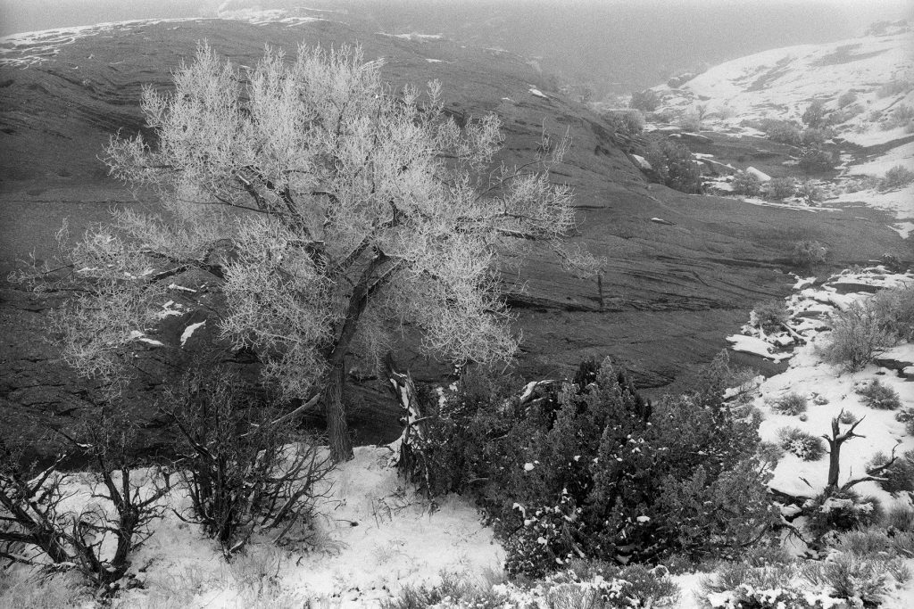 Frozen Cottonwood Tree near Windows area, Arches National Park, Utah