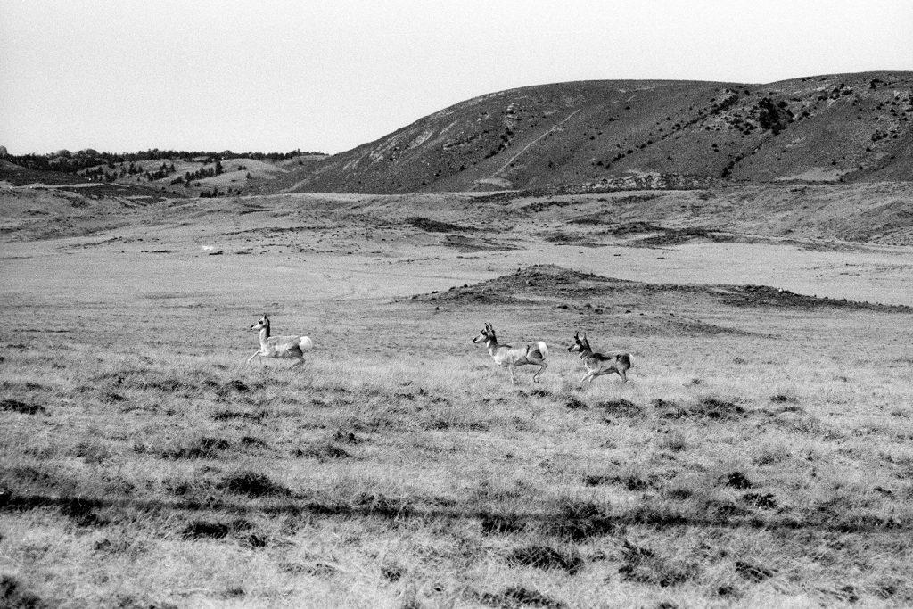 Pronghorn Antelope, Laramie County, Wyoming