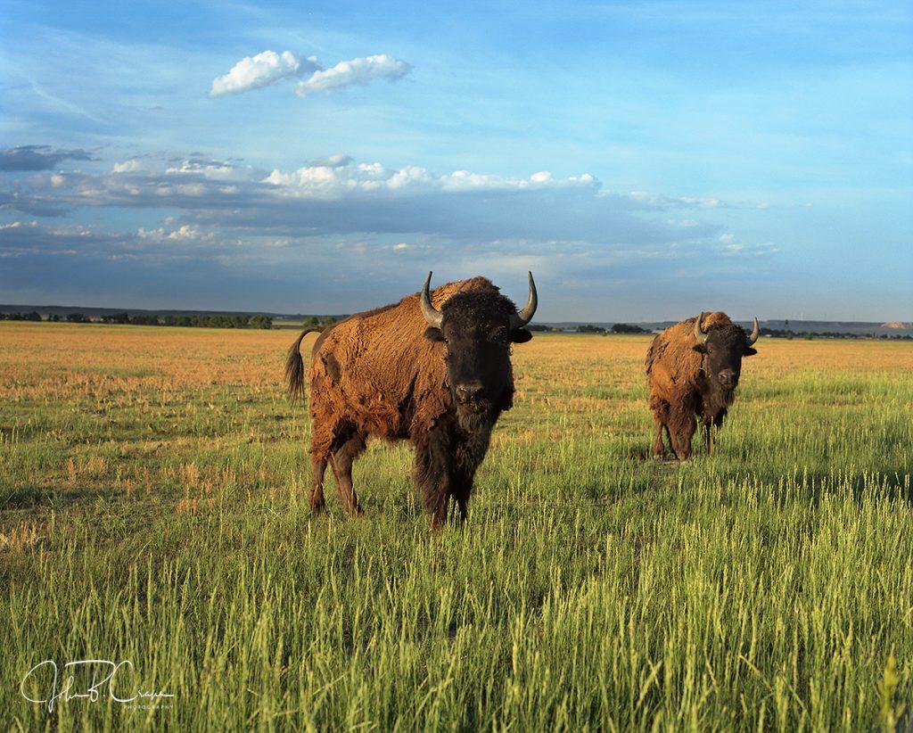 American Bison near Grover, Colorado